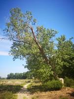 Chopo (Populus nigra)