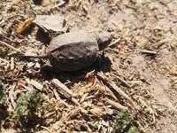 Galapago leproso (Mauremys leprosa)