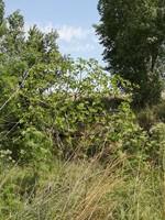 Higuera (Ficus carica)