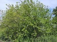 Morera (Morus alba)