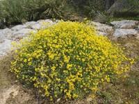 Retama (Spartium junceum)