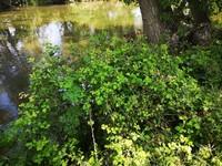 Zarza (Rubus ulmifolius)